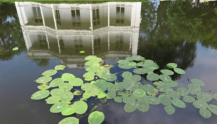 Lily pads and building reflection