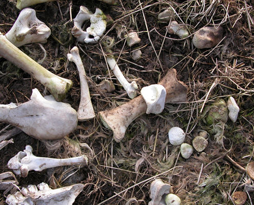 Sheeps bones in field; very much nature