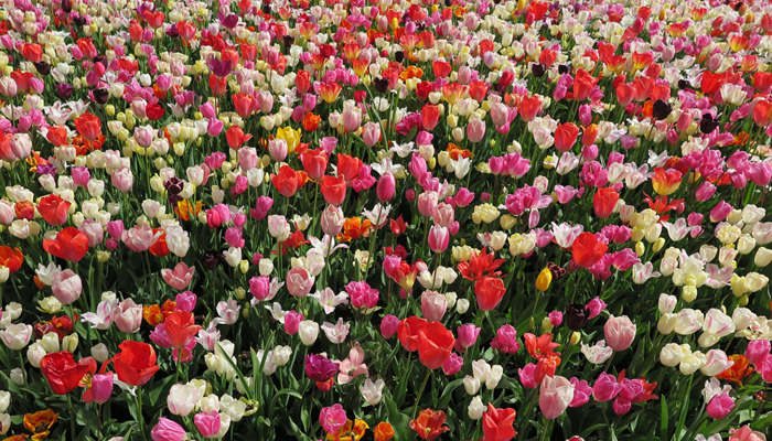Tulips_cultural symbol of the Netherlands
