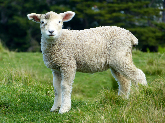 Lamb as symbol of romantic environment