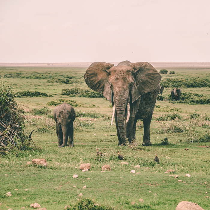 Elephants at Amboseli National Park, Kenya.