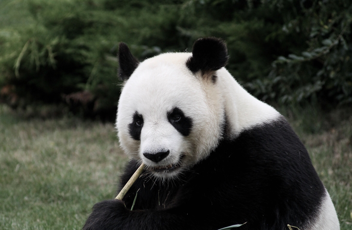 Eating Panda at ZooParc Beauval, Saint-Aignan-sur-Cher, France.