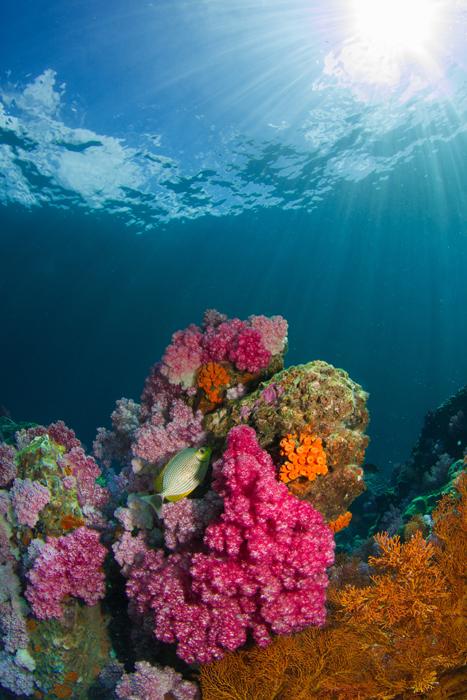 Coral Reef Ko Lipe, Thailand.